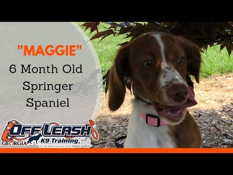 6 Month Old Springer Spaniel 'Maggie' | Confidence Building | 2 Week Dog Boot Camp