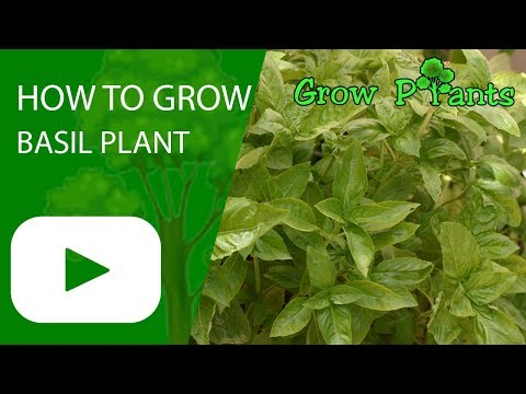 Boxwood Basil How To Grow Care