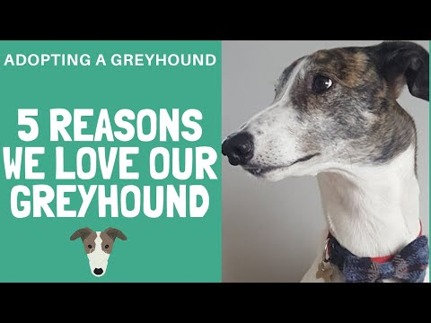 Greyhounds are awesome! The best dogs ever?