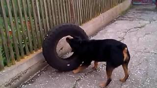 Ротвелер с шиной от УАЗ