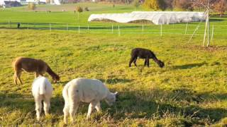 Lama farm in Switzerland