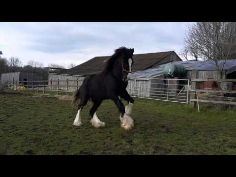 Shire Horse Turbo