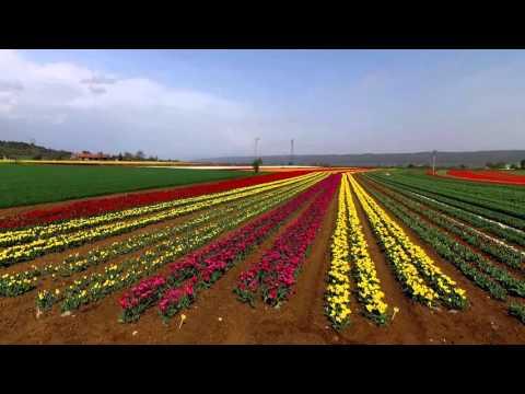 Lurs tulipes