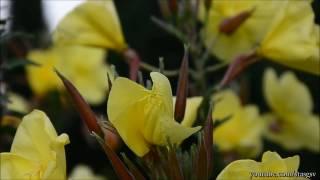 Ослинник двулетний