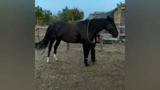 Обучение лошади трапеции. На что обратить внимание
