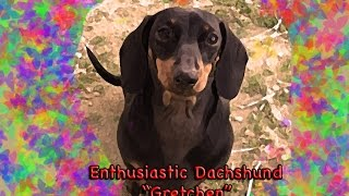 Enthusiastic Dachshund Destructo Puppy - 6 Months Of Love #7