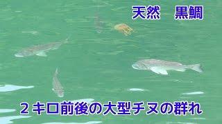 九州の湾内です 2キロ前後の大きなチヌが30匹から40匹以上群れをな...