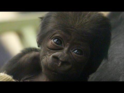 CUTE: Adorable baby gorilla meets his sister!