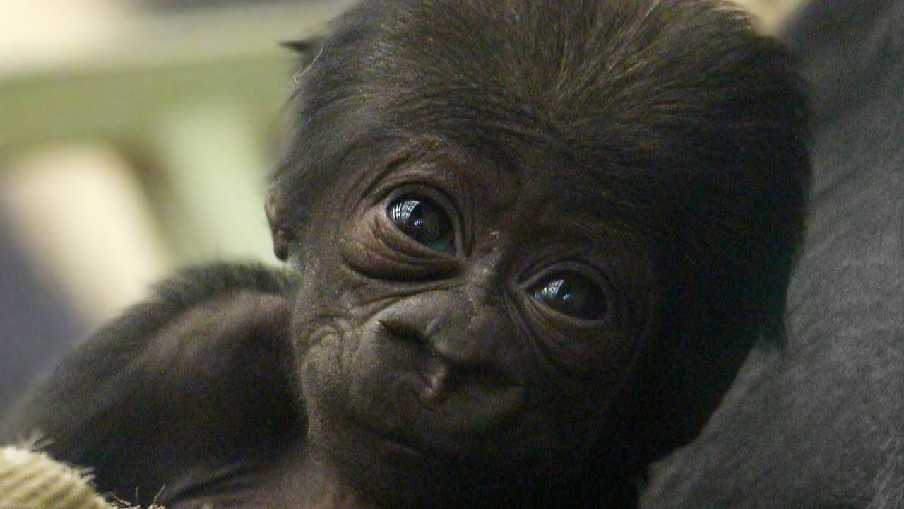 Cute baby gorilla - photo#11