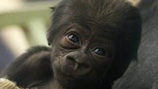 CUTE: Adorable baby gorilla meets his sister!(This is the first footage of the adorably cute baby gorilla who has been born at ZSL London Zoo. Baby Gernot, who is only a few weeks old, already has a close ..., 2015-12-10T12:17:53.000Z)