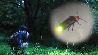 【ゲンジボタル】市街地の一角に生息するホタルを観察してみた【昆虫採集】