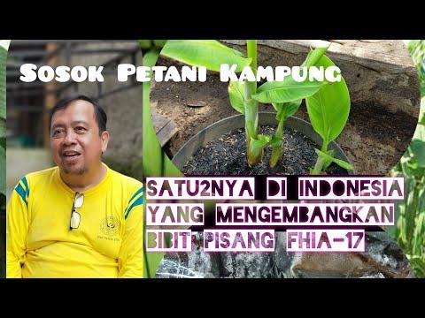 Mengenal Sosok Pa Iskandar Satu2nya Petani Di Indonesia Yang Mengembangkan Bibit Pisang Fhia 17 Youtube