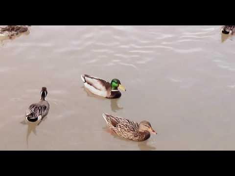 Nature - Ducks