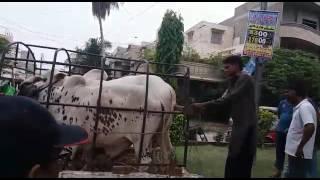 unloading cow from suzuki