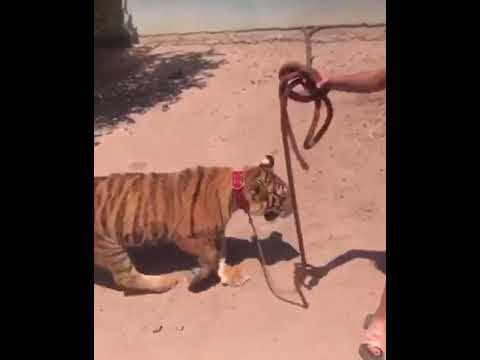 Niña de pasea con un tigre por la calle en Guasave Sinaloa