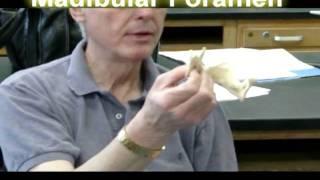 Mandibular Foramen.avi