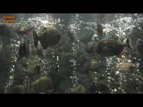 A Nice Red Bellied Piranha Aquarium Tank