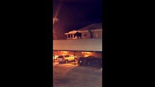شاهد: غزال ضخم يتمشى على سطح مرآب سيارات باحثاً عن سبيل للنزول!…