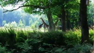 Rothschild giraffes in Opole Zoo, POLAND / Żyrafy Rothschilda w opolskim zoo