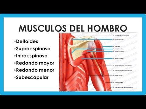 Músculos del hombro - YouTube