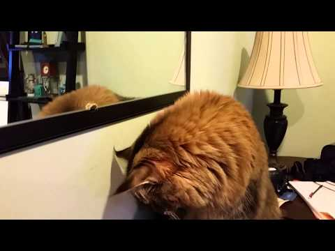 Maine Coon Cat vs. Stink Bug