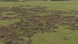 When Badgers Attack: Badgers Stop Play At Rickmansworth Cricket Club