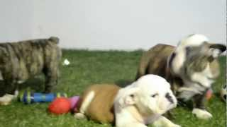 BULLCANES English Bulldog Breeder - Frodo - Lolly - Sue