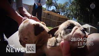 Australian Bulldog Puppies Found At Alleged Bikie's Gold Coast Home