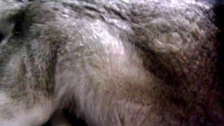 8 weeks 56 day pregnant siberian husky mama