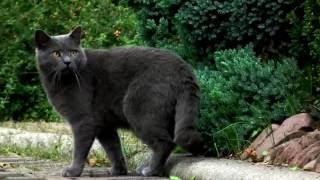 Порода кошек. Шартрез(Картезианская кошка).Происходит от сибирской кошки