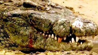 CROCODILE DOCUMENTARY NATIONAL GEOGRAPHIC  ***HD Animal Video***