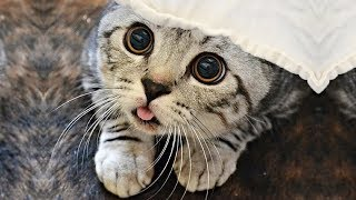 「かわいい猫」 笑わないようにしようとしてください - 最も面白い猫の映画 #311