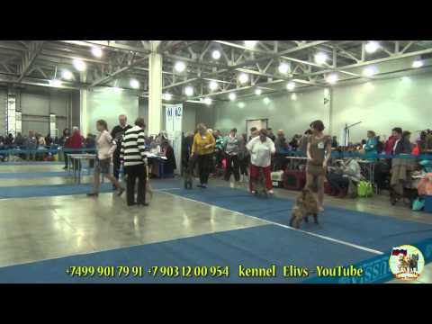 Международная выставка собак ''Евразия 2014'' 2. Керн терьер. Eurasia-2 dog show. Cairn terrier.