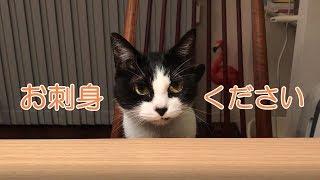 お刺身ってやっぱり匂いあるのか…すかさず察知した猫がやってきました!...