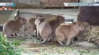 日立市宮田町の市かみね動物園で、カピバラの赤ちゃん6匹が、6月11...