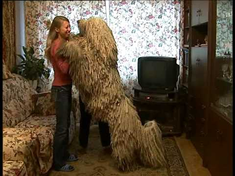 Собака Командор-Златогор. 10.2007