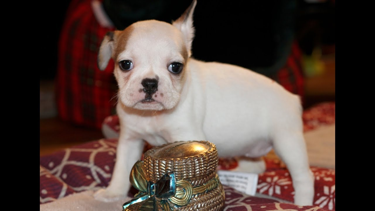 French Bulldog Hybrid Royal Frenchel Micro Mini
