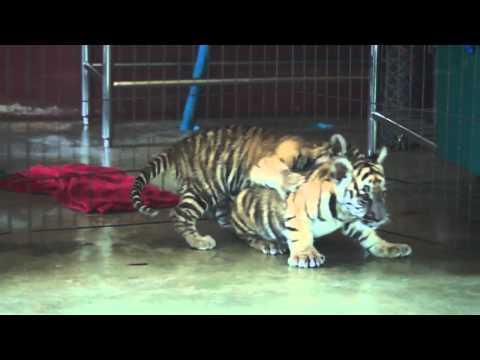 Newborn tigers tussling