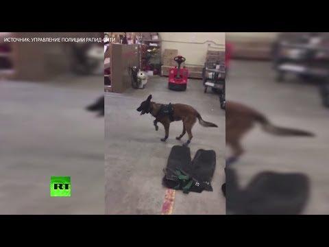 Полицейская собака учится