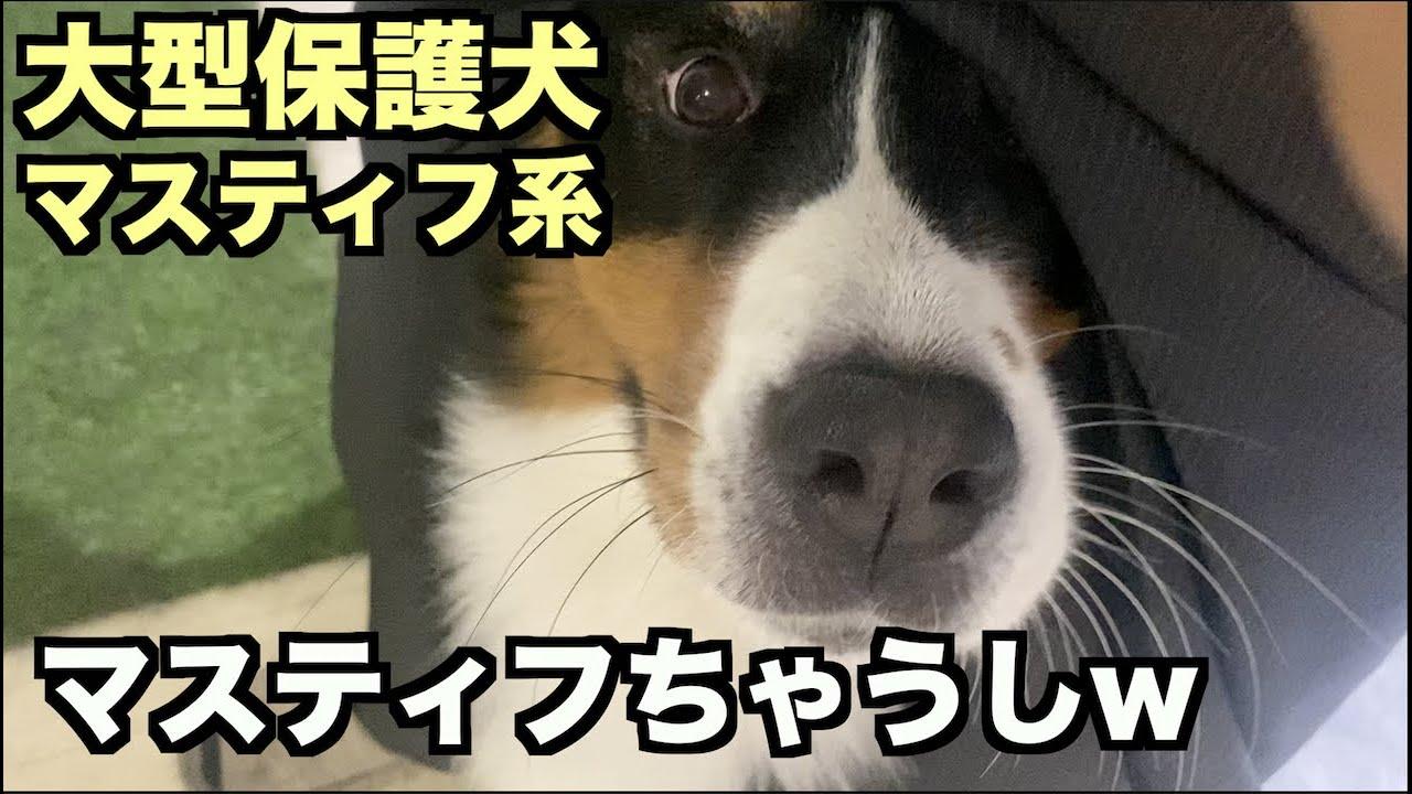大型マスティフ系保護犬・お股からこんにちは!【111 113日目】