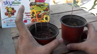 How to Grow Sunflower From Seeds | Different Kinds of Sunflower Seeds Part-2 (Urdu/hindi)