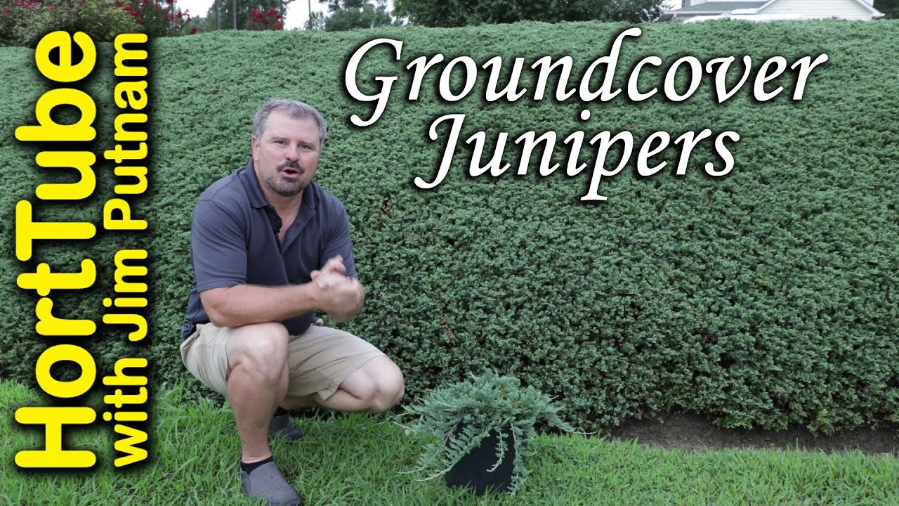 All About Groundcover Junipers Erosion Control Planting On A