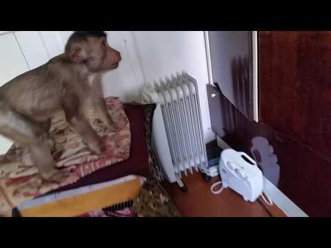 как обезьяна ловит муху