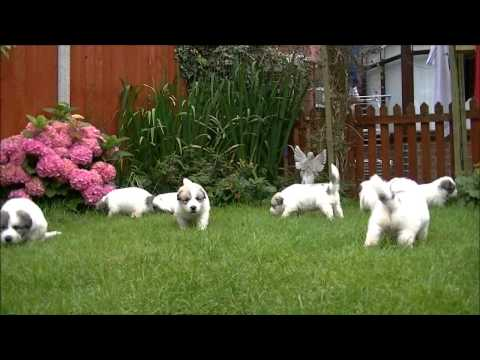 Pyrenean Mountain Dogs - Great Pyrenees Puppies 2012 - 4 Weeks Old @ Penellcy