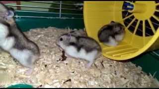 Малыши хомячки джунгарики. Потомство и развитие.