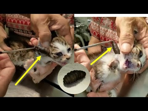 Cat Rescue   Botfly Larva Removed From Cats #2