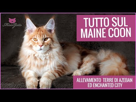 Maine coon: all about the giant cat!