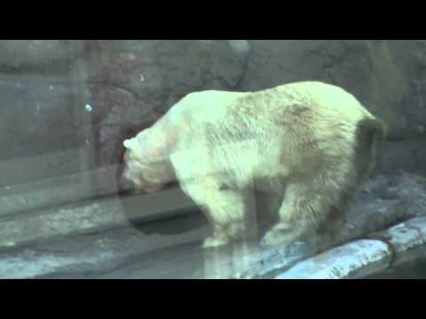 Без слов...Срущий белый медведО-о