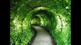 Туннель из девичьего винограда