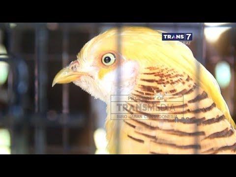 Kontes Ayam Unik di Cirebon, Jawa Barat